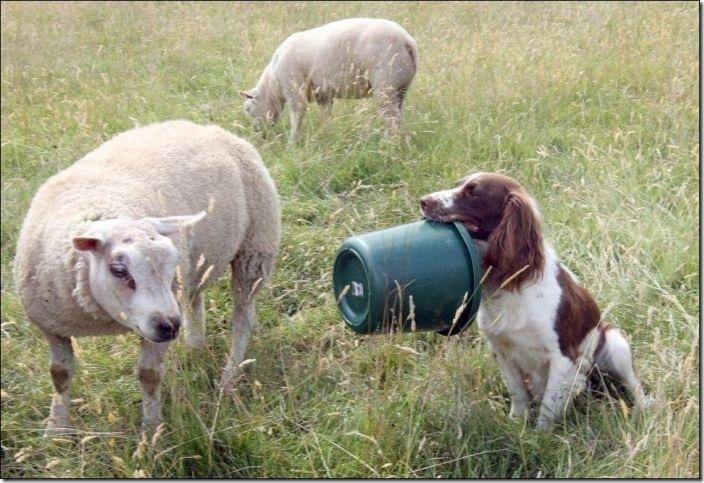 牧羊犬 (4)