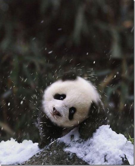 雪で遊ぶパンダの親子 (2)